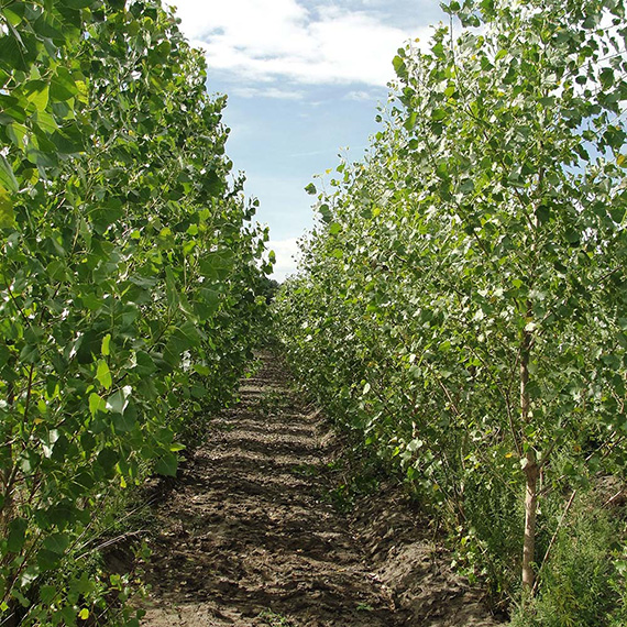 2 year old poplar plantation with recent tillage between the rows