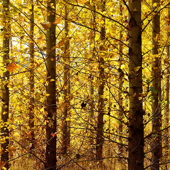 Autumn atmosphere in poplar plantation with yellow leaf coloration