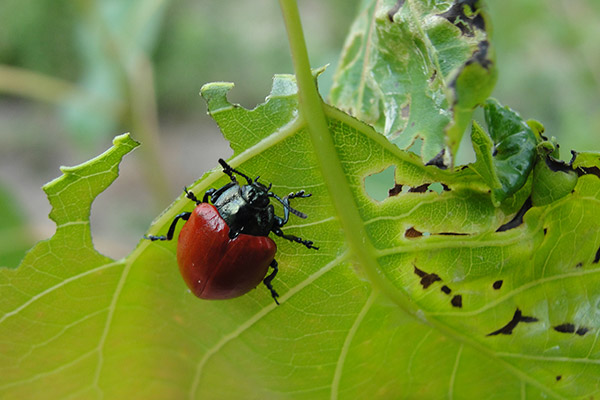 Little beetle with big hunger