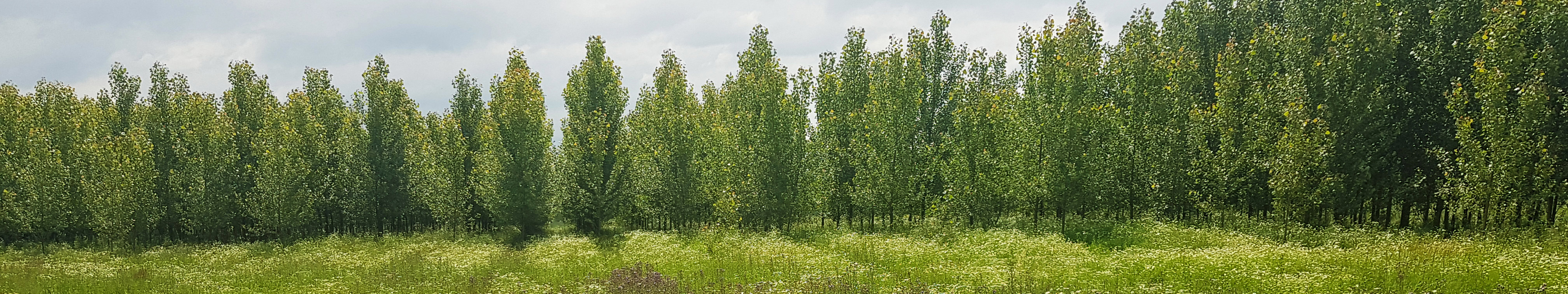 Poplar plantation with a green, flower-rich meadow
