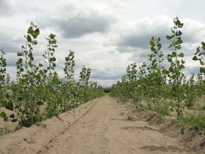 2 years old poplar plantation with recent tillage between the rows