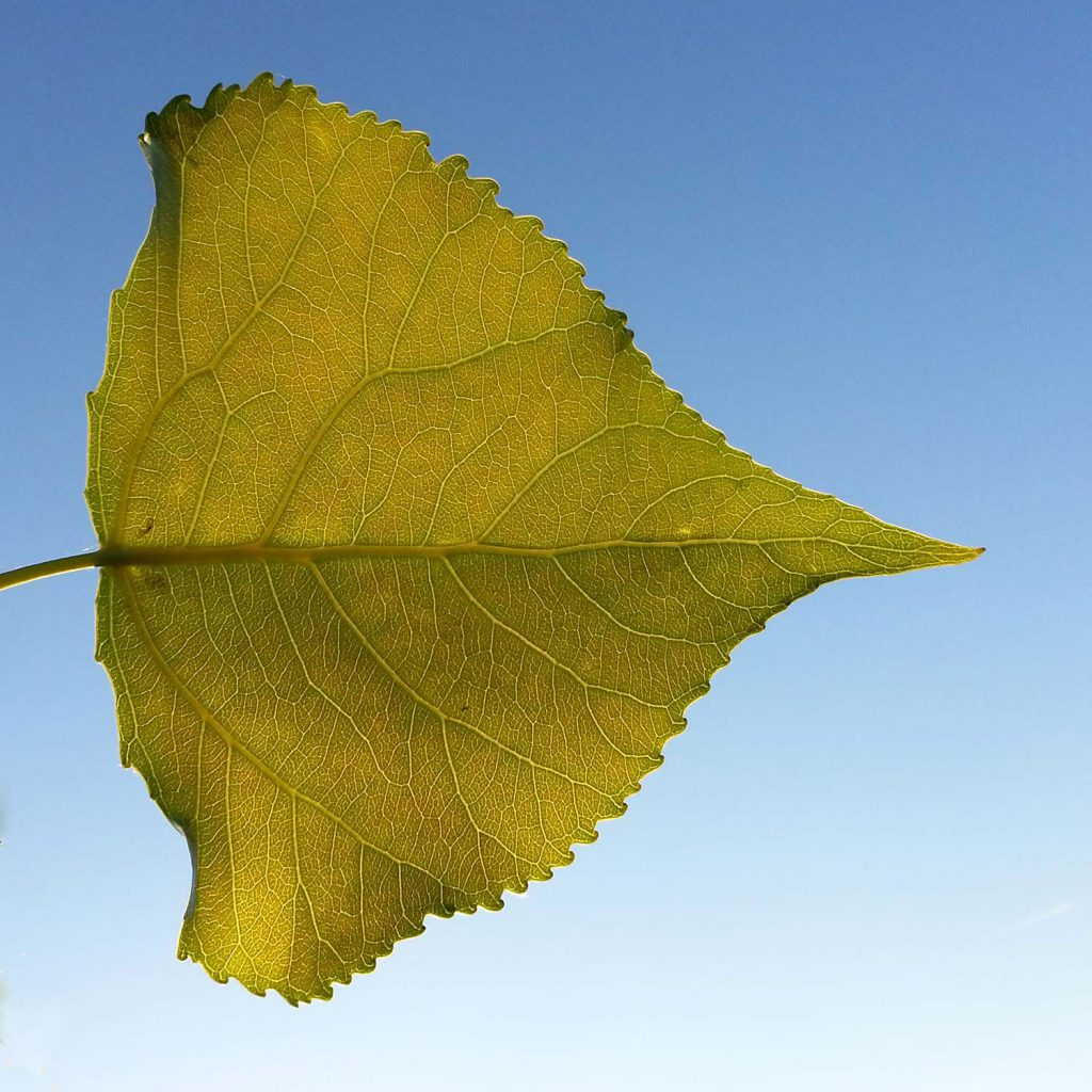 Poplar leaf in front of the blue sky
