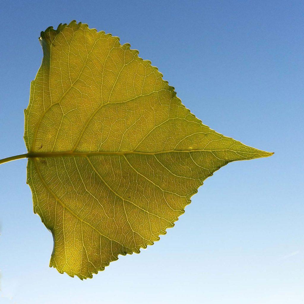 Pappelblatt vor blauem Himmel
