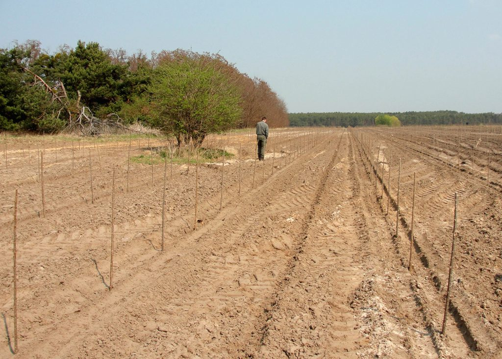 Recently established poplar plantation with cuttings on sandy and nutrient-poor soils