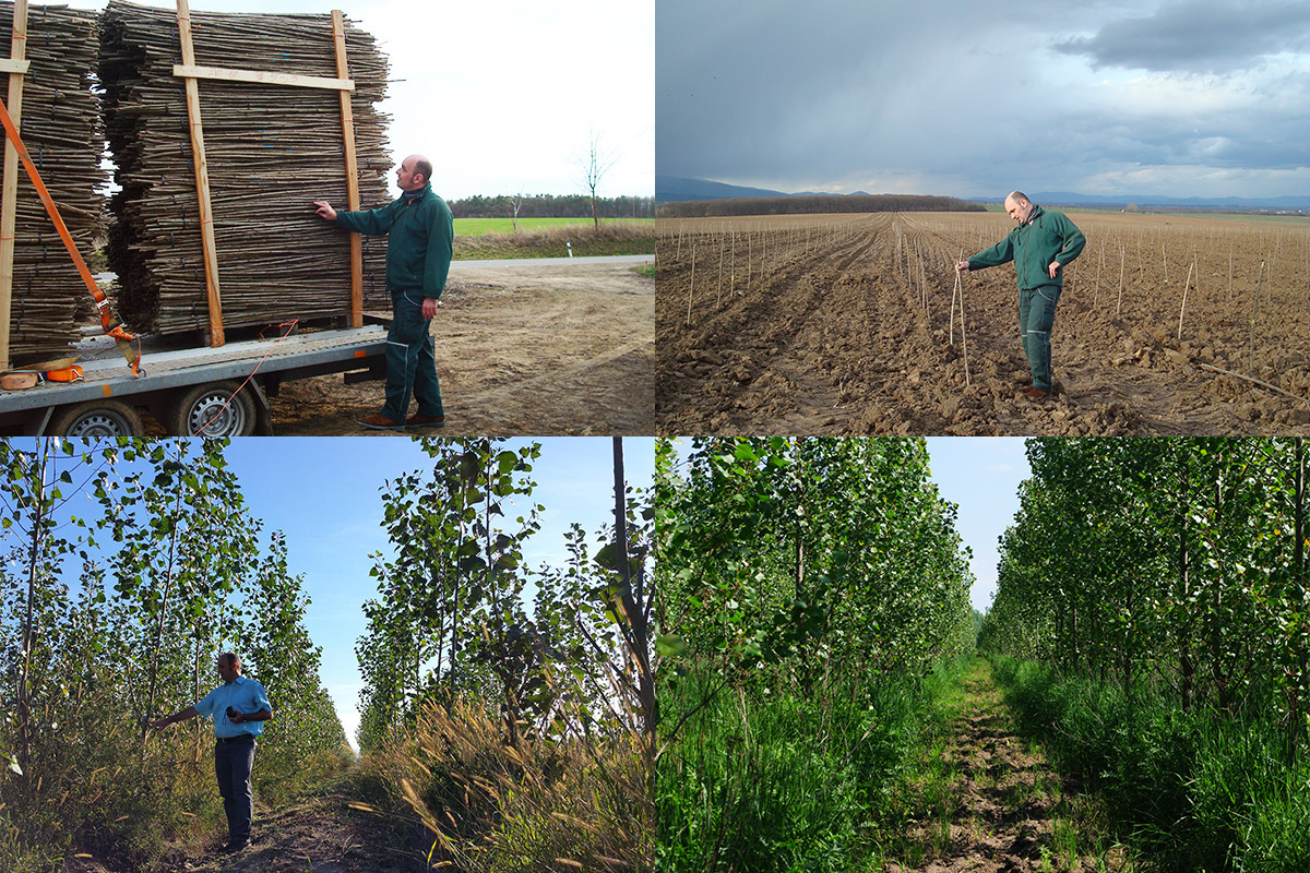 Compilation of four pictures about the establishment of a poplar plantation: First is the supply with poplar cuttings for planting; second are planted cuttings; third is a 1 year old poplar plantation; fourth is a 3 years old poplar plantation with herbal understorey