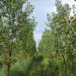 3 years old poplar plantation with herbal understorey