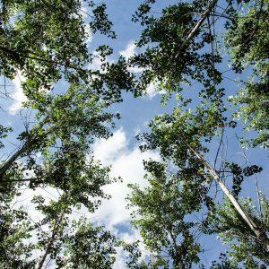View into poplar crowns