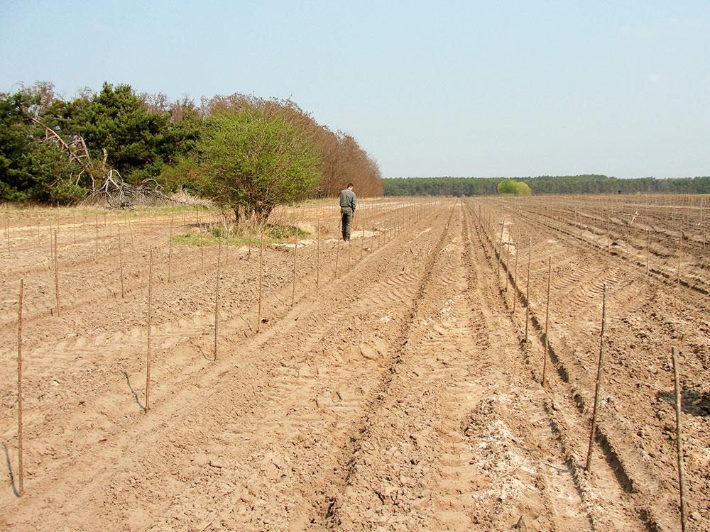 Kürzlich mit Stecklingen in sandigem, nährstoffarmen Boden etablierte Pappelplantage