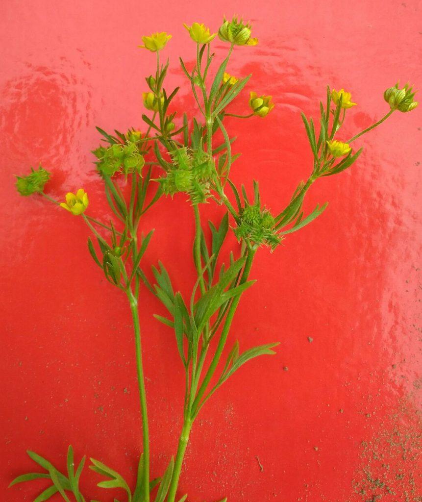 Picture of the rare Ranunculus arvensis