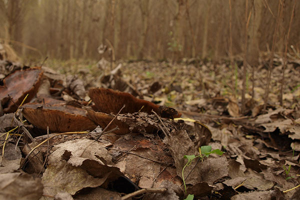 Hardly visible Cottonwood mushrooms (Tricholoma populinum) under fallen leaves in autumn in a poplar plantation