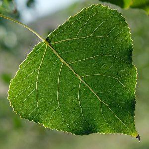 Close-up of a poplar leaf