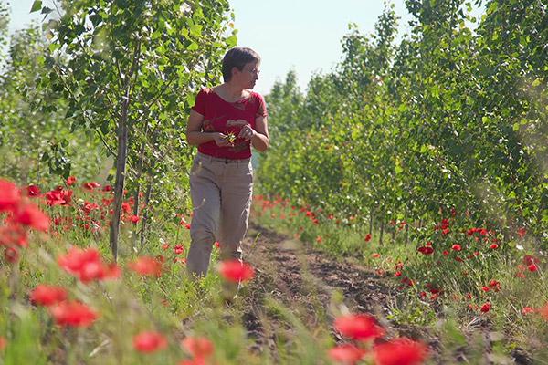 Farmer in a poplar plantation with red flowers